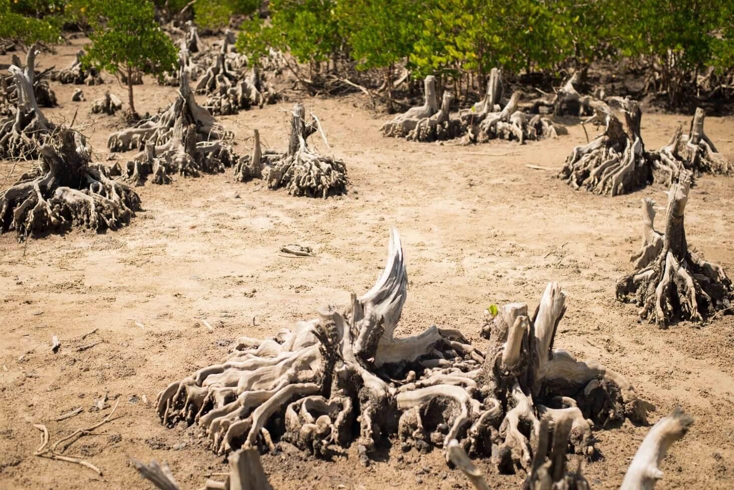 mangrovniky3