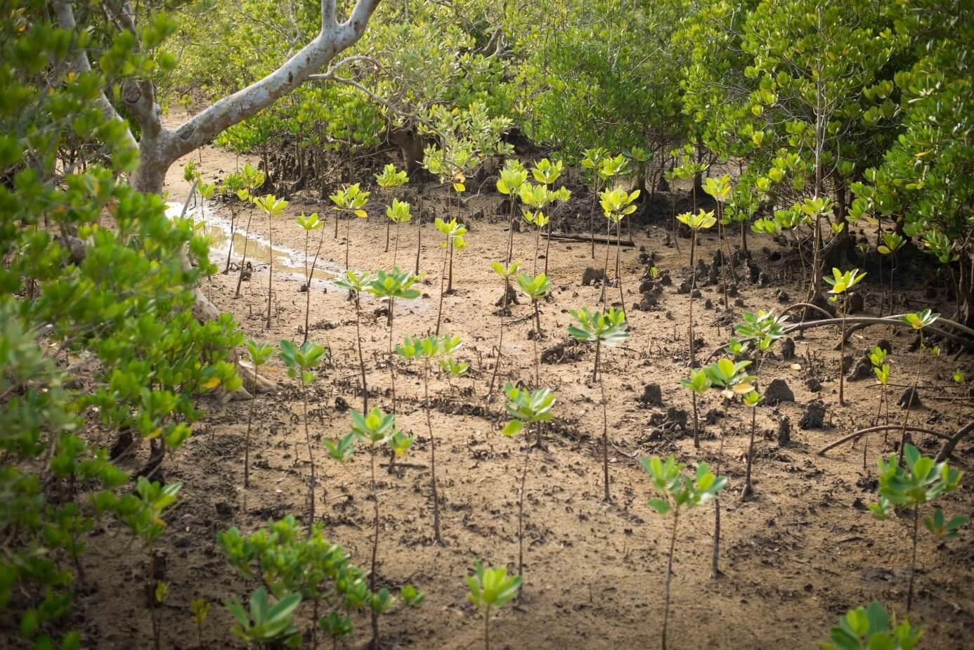 mangrovniky6